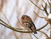 Chaffinch or chaffy bird - brown-gray small bird — Stock Photo