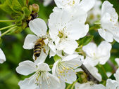 Bee on the cherry tree flowers — Stock Photo
