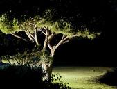 Pine tree near golf field — Stock Photo
