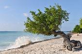 Divi divi albero — Foto Stock