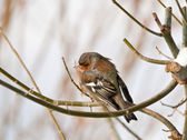 Chaffinch or chaffy bird — Stock Photo