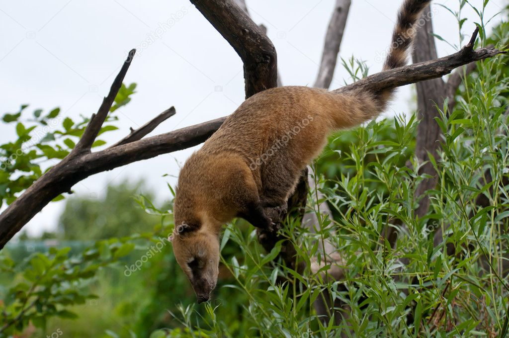 Coati close up on the tree looking for food — Stock Photo #6111604