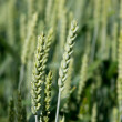 Barley — Stock Photo #6109028