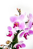 Pink orchid isolated on a white background — Stock Photo