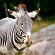 Zebra standing - Stock Photo