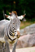 Zebra standing — Stock Photo