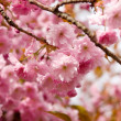 Stock Photo: Cherry blossom background