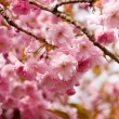 Cherry blossom background — Stock Photo #6244889