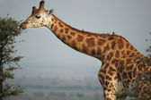 Graceful giraffe eating branch of the tree — Stock Photo