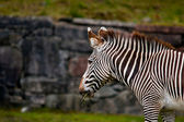 Zebra eating — Stock Photo