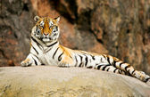 Siberian tiger resting on a rock — Stock Photo