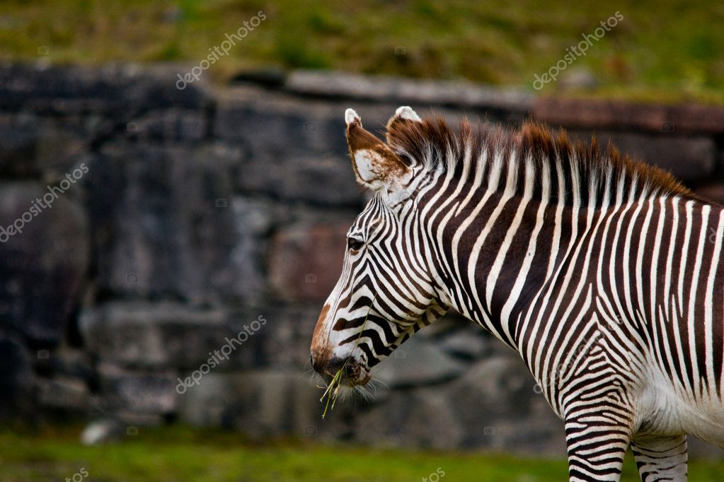 Zebra eating — Stock Photo #6244996