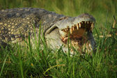 Salt water crocodile — Stock Photo