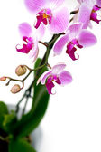 Pink orchid on white background — Stock Photo