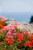 Flowers in Amalfi — Stock Photo