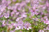 Purple daisies — Stock Photo