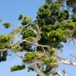 Stock Photo: Eucalyptus tree