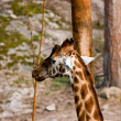 Stock Photo: Giraffcamelopardalis