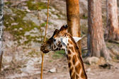 Giraffa camelopardalis — Stock Photo