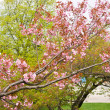 Cherry blossom background — Stock Photo #6535628