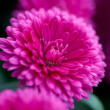 Aster novi-belgii - Stock Photo