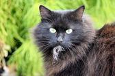 Portrait of black cat — Stock Photo