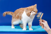 Exotic shorthair is very pleased isolated — Stock Photo