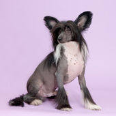 Male chinese crested dog isolated — Stock Photo