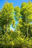 Beech forest — Stock Photo