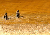 Two sparrows taking bath — Stock Photo