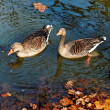 Stock Photo: Geese in pond