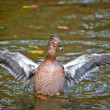 Stock Photo: Duck in pond