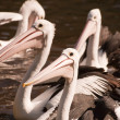 Pelicans — Stock Photo