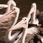 Pelicans — Stock Photo