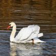 Graceful swan — Stock Photo #6363510