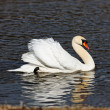 Graceful swan — Stock Photo
