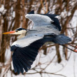 Stock Photo: Heron in flight