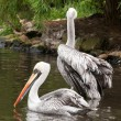 Pelicans — Stock Photo #6363524