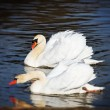 Graceful swans — Stock Photo