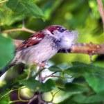 Nesting sparrow — Stock Photo