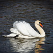 Graceful swan — Stock Photo #6363530
