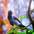 Crow on tree — Stock Photo #6363544