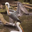 Pelicans — Stock Photo #6363551