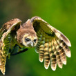 Flying owl - Foto de Stock