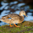 Cute duckling — Stock Photo #6363591