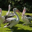 Pelicans — Stock Photo #6363597