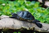 Turtle basking on a log — Stock Photo