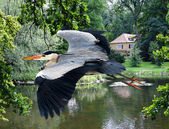 Heron flying over the lake and house — Stock Photo