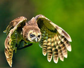 Flying owl — Stock Photo