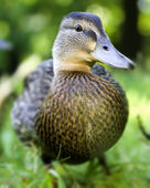 Cute duckling — Stock Photo